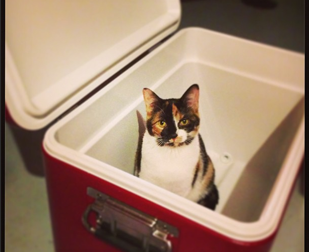 Coleman Cooler with a Cat