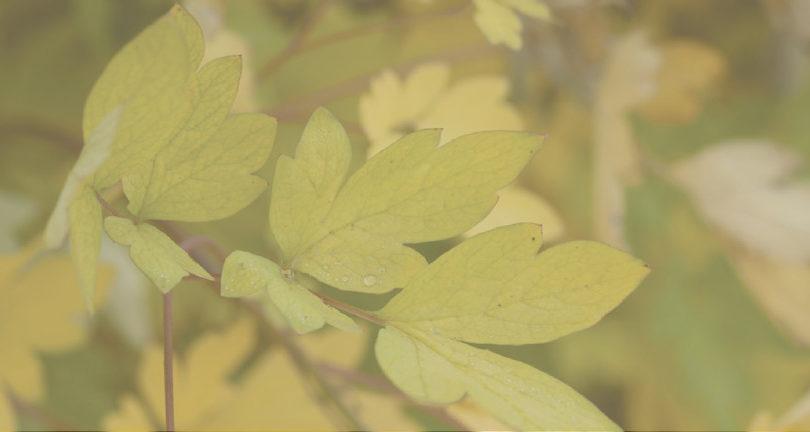 soft focus leaf
