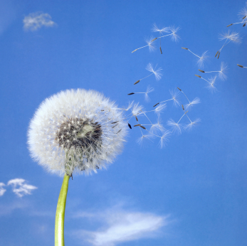 dandelion with seeds blowing in the wind