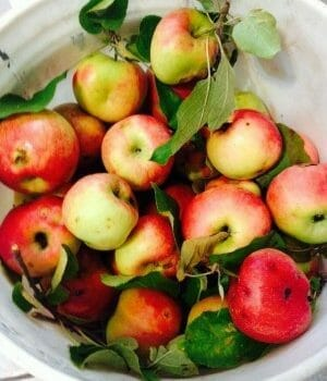 Bucket of freshly harvested apples
