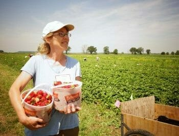 Farmer with buckets of strawberries in strawberry field